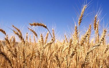 COTRISA iniciará programa de compra de trigo en la Región del Maule