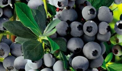 Los arándanos se pueden convertir en la fruta chilena con mayor valor de exportaciones después de la uva de mesa