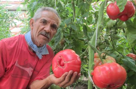 Finaliza proyecto que buscó rescatar el ancestral Tomate Rosado de Peumo