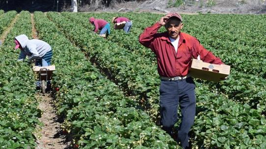 Comienza la búsqueda de trabajadores para la nueva temporada agrícola en la Región