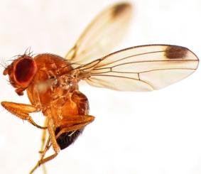 SAG O´Higgins ratifica detección de Drosófila de alas manchadas en la comuna de San Vicente de Tagua Tagua