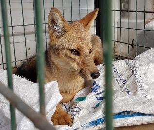 SAG capturó zorro que merodeaba área urbana de Rancagua