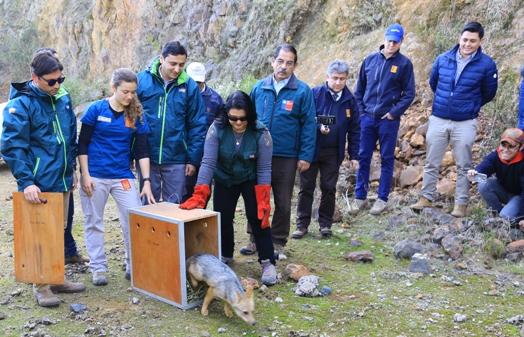 En cerros de Coltauco fue liberada zorrita rescatada en Villa El Sol de Rancagua