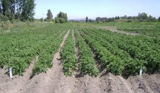 En la comuna de Las Cabras profesionales del INIA dieron a conocer tecnologías productivas para el cultivo de la papa