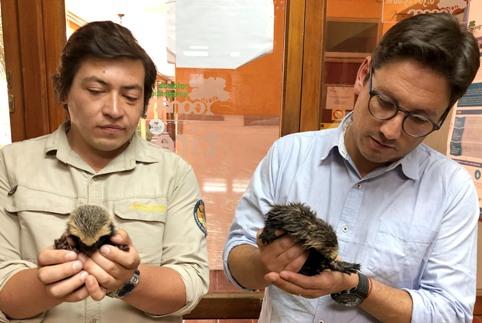 Tres pequeños quiques huérfanos son rescatados por guardaparques de CONAF