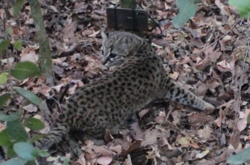 SAG O'Higgins y Parque Safari reinsertan Gato Güiña en Santuario de la Naturaleza