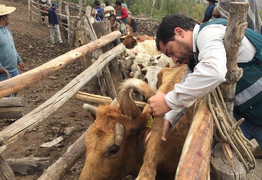 SAG O'Higgins muestrea 7 mil cabezas de ganado para avanzar en erradicación de Brucelosis bovina